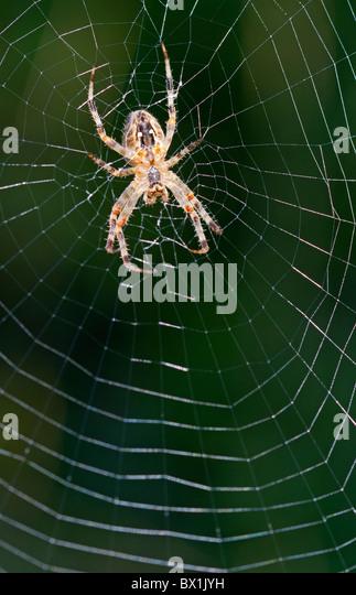 Garden spider in the middle of a web - Araneus diadematus - Stock-Bilder