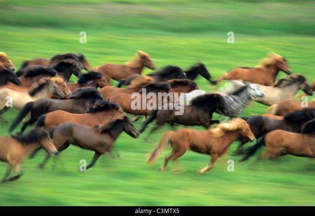 Iceland, Geysir, Icelandic horses running. - Stock Image