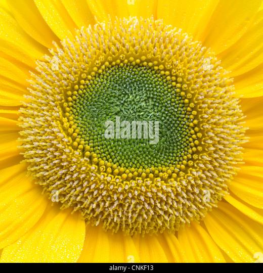 Sunflower Closeup - Stock Image