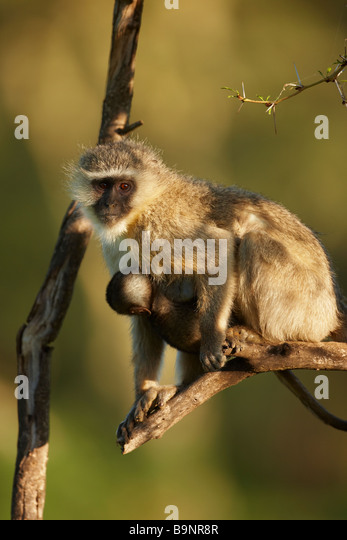 vervet monkey carrying a baby on a tree branch, Kruger National Park, South Africa - Stock Image
