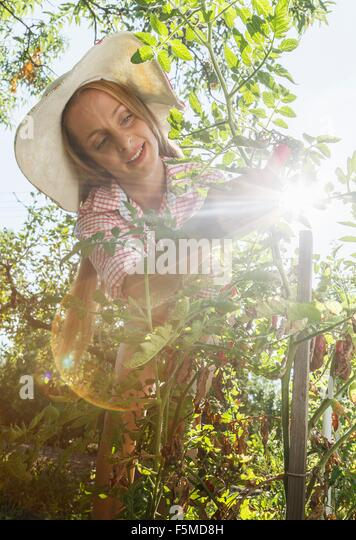 Mid adult woman in garden, picking tomatoes, low angle view - Stock Image