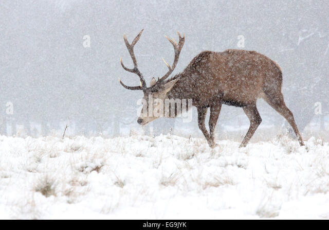 Red deer stag in snow in Richmond Park, London - Stock Image