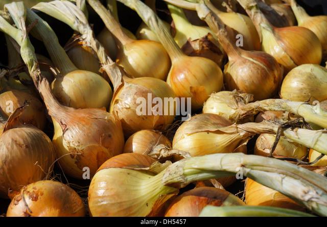 Onion harvest, sweden - Stock Image