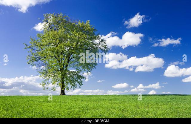 Single beech tree in field of young growing crop. UK. - Stock Image