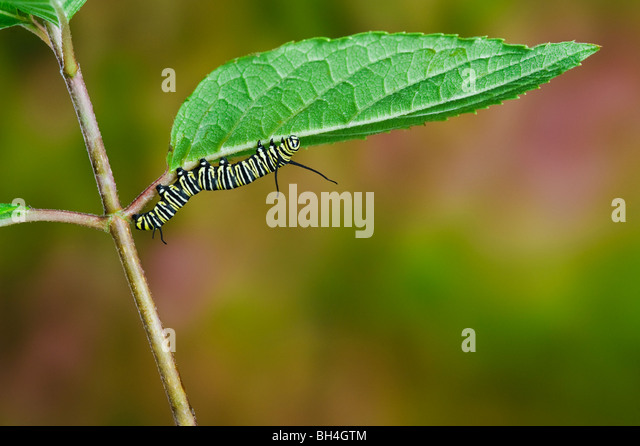 Monarch butterfly caterpillar on leaf, preparing for transformation from larva to pupa, Nova Scotia. Series of 4 - Stock Image