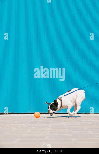 French bulldog dog is running and playing with the ball. The background is a blue wall - Stock Image