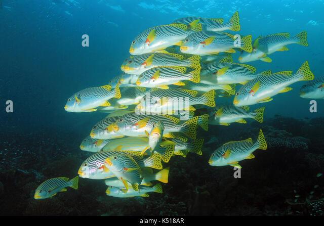 School of Diagonal-banded Sweetlips (Plectorhinchus lineatus, aka Yellowbanded Sweetlips). Dampier Strait, Raja - Stock Image