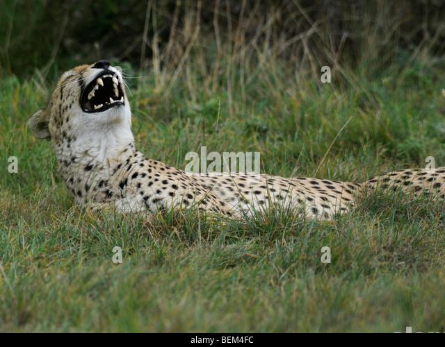 A cheetah laughing ` having fun. - Stock Image