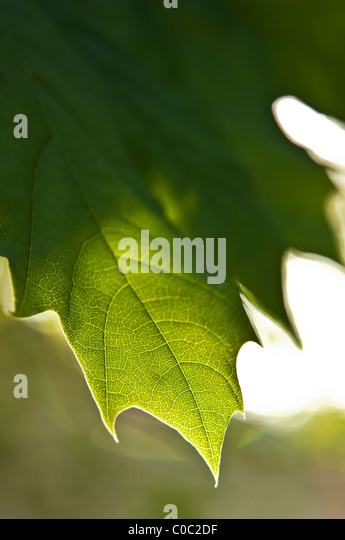 Maple leaf detail - Stock Image