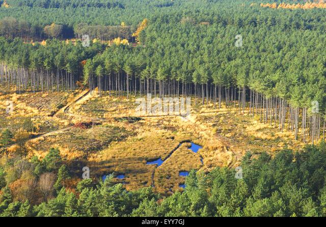 aerial view to deforestation of pine forest, forest transformation and development of heather with pool, Belgium - Stock Image