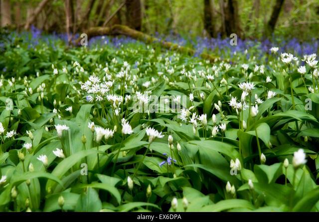 Wild garlic woods in Somerset, also called alliums, Allium ursinum, ransomes, buckrams with bluebells in background - Stock Image