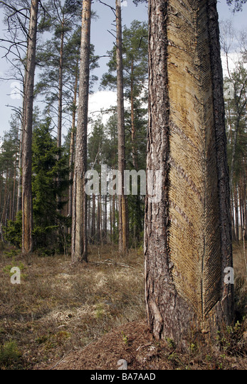 Tapping a pine tree for resin - Stock-Bilder