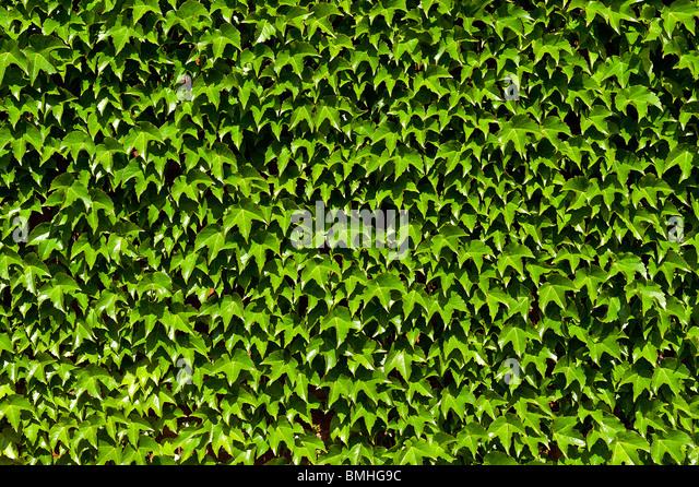 Boston Ivy. - Stock-Bilder