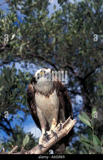Osprey portrait Pandion haliaetus Osprey poised on tree branch - Stock Image