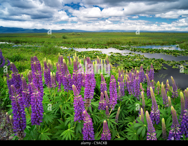Lupine and clouds in the Klamath Marsh National Wildlife Refuge, Oregon - Stock-Bilder