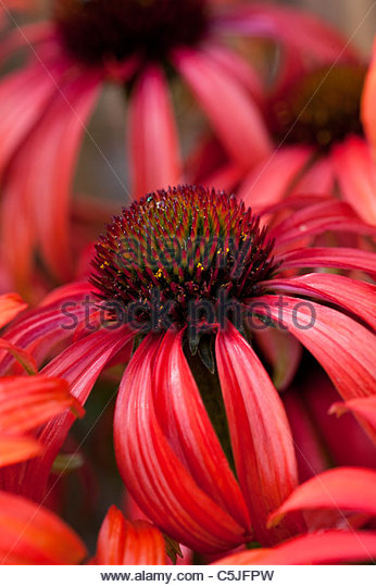 Echinacea purpurea 'Tomato Soup' coneflower - Stock Image
