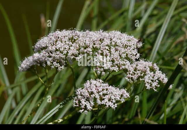 Common valerian, Valeriana officinalis, flowering beside the Kennet & Avon Canal, Berkshire, July - Stock Image