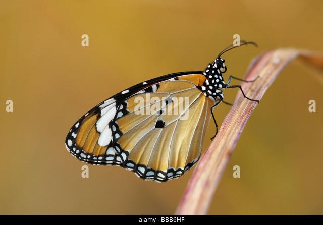 Plain Tiger butterfly (Danaus chrysippus) on Phi Phi Island, Thailand - Stock Image