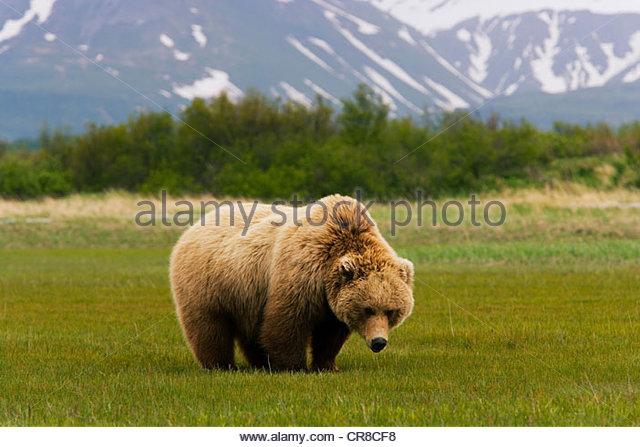 Brown bear, Katmai National Park, Alaska - Stock Image
