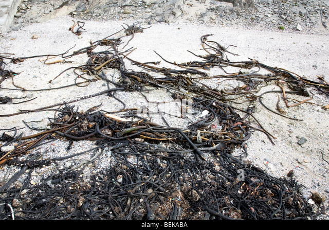 Seaweed on beach - Stock Image