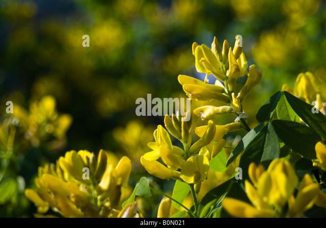 joseph dupouy nature petteria ramentacea cytise - Stock Image