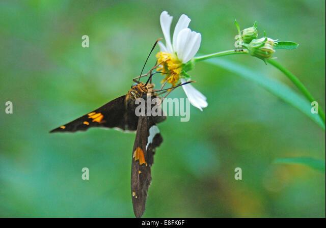 USA, Florida, Orange County, Orlando, Moth on wild daisy sipping on nectar - Stock Image
