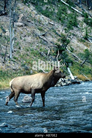 A 4x4 bull elk wapiti Cervus canadensis crosses river in Yellowstone National Park Wyoming COPYRIGHT DUANE BURLESON - Stock Image