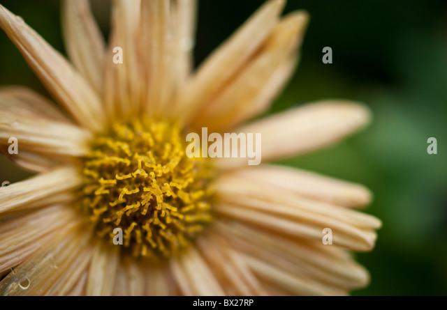 Macro view of a daisy flower - Stock Image