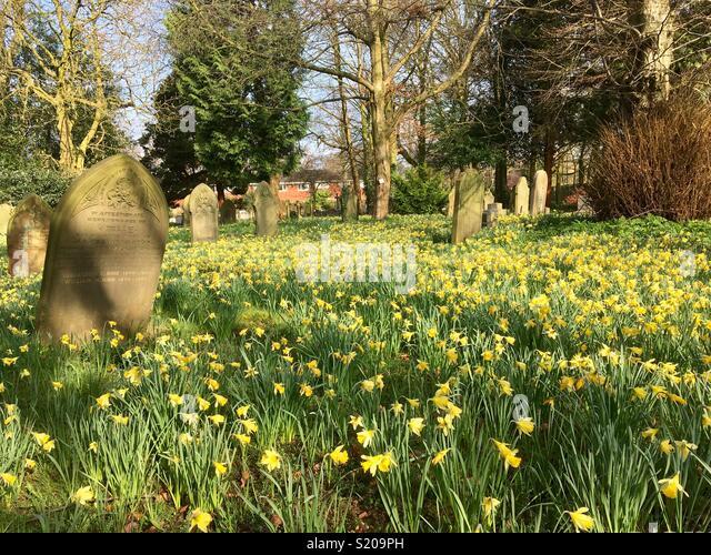 Wild daffodils in an urban graveyard. Spring. Resurrection. Wild flowers. - Stock Image