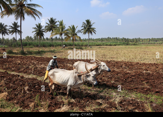Farmer plowing field with oxen plow, Bannur, Karnataka, South India, India, South Asia, Asia - Stock Image