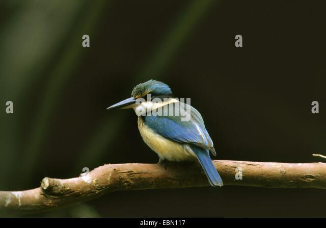 Sacred kingfisher (Halcyon sancta, Todirhamphus sanctus), sitting on a branch - Stock Image