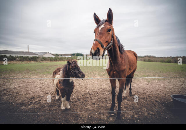 Horse friends on a farm behind a fence one large brown horse and a small black pony - Stock Image