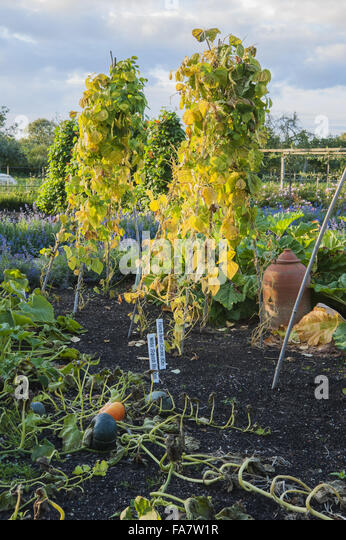 The kitchen garden at Tintinhull, Somerset, in September, with squashes drying on the surface of the soil and bamboo - Stock Image