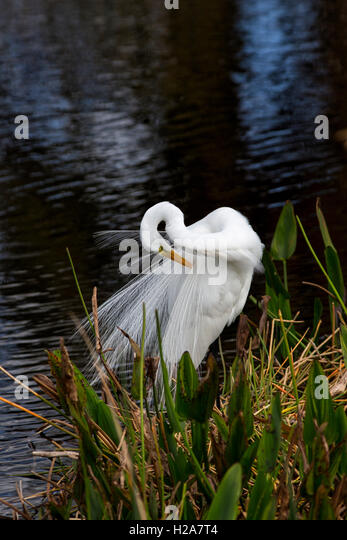 In this color image, an elegant White egret preens at water's edges in a stand of aquatic pickerel weed. - Stock Image