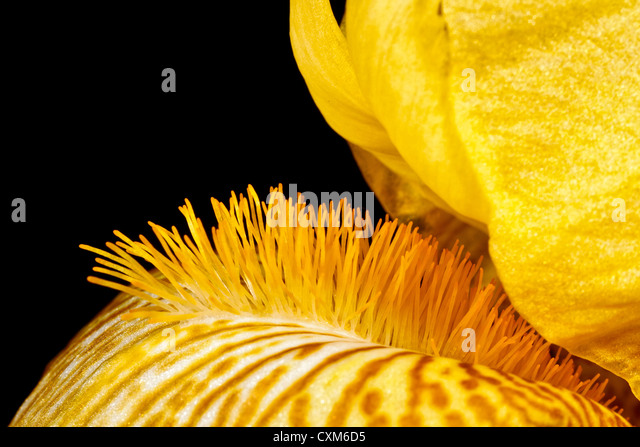 The Beard of a Yellow Iris - Stock Image