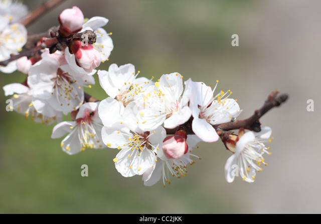Spring. Branch of apricot blossoms, close-up - Stock Image