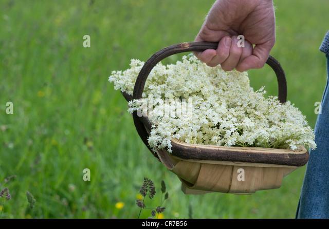 Sambucus nigra. Foraged elderflowers in a wooden basket - Stock Image
