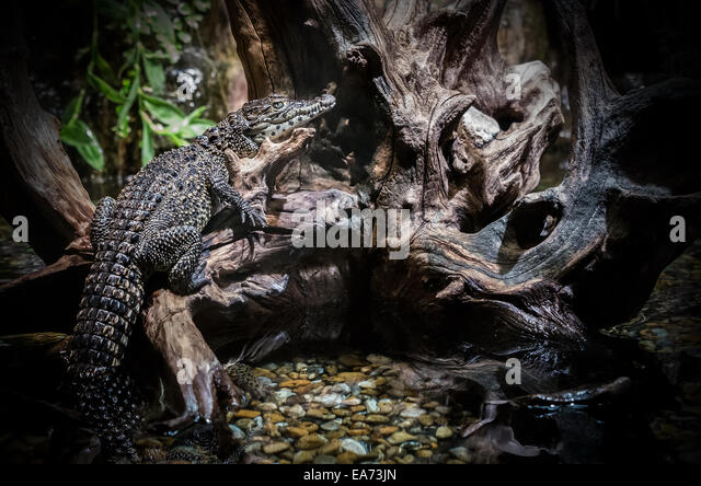 Crocodile climbs on Roots - Stock Image