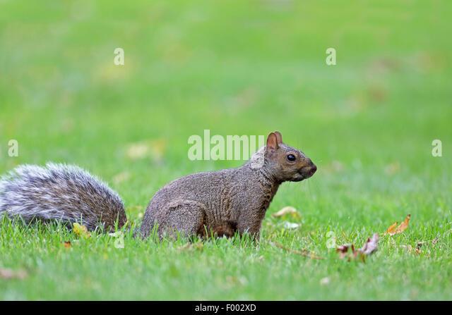 Eastern gray squirrel, Grey squirrel (Sciurus carolinensis), sits on grass, Canada, Ontario, Leamington - Stock Image
