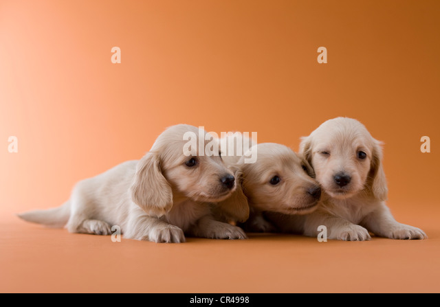 Photo 1 Of 10 Miniature Wire Haired Dachshund   Dog Breeds Picture