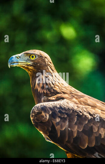 A golden eagle, Aquila chrysaetos. - Stock Image