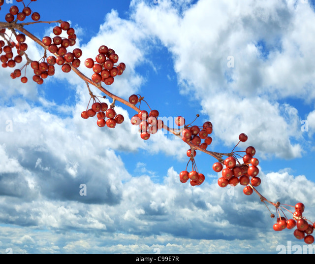 ABranch Of Red Berries Against A Blue Sky - Stock Image
