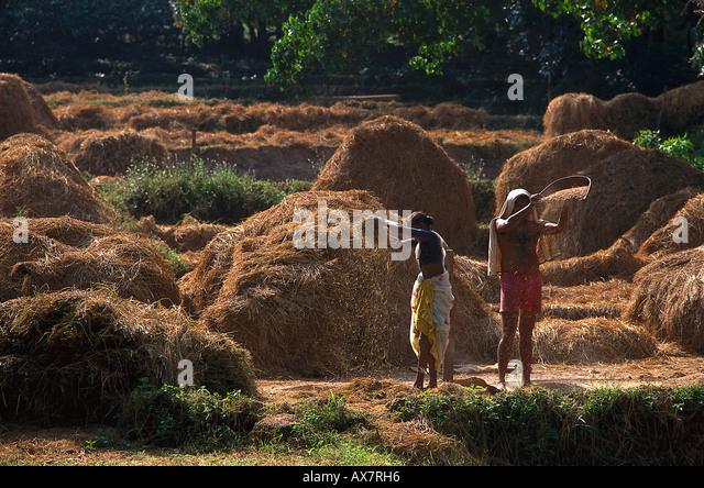 Reisernte, Anjuna, Goa, Indien - Stock-Bilder