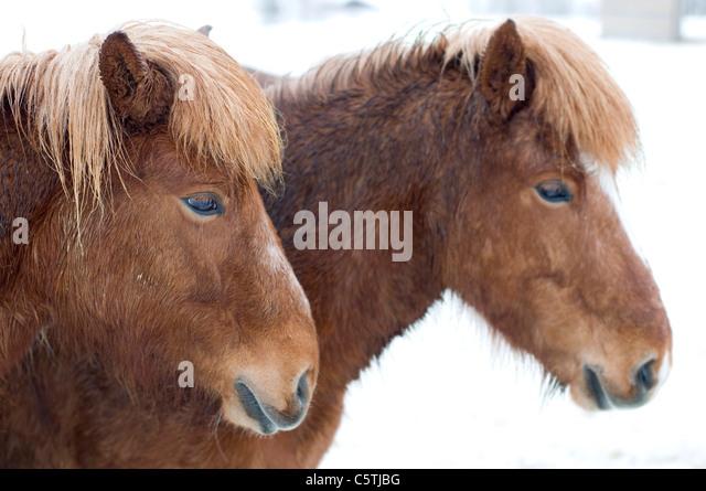 Sweden, Örnsköldsvik, Two Shetland ponies (Equus f. caballus) portrait, close-up - Stock Image