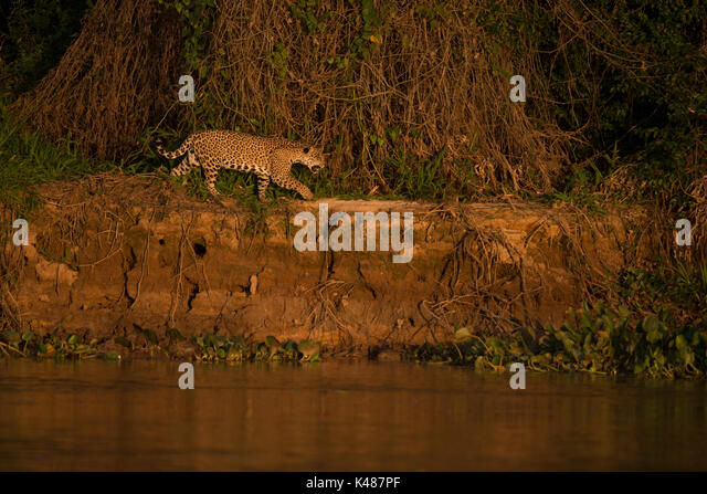 Jaguar (Panthera onca) from North Pantanal, Brazil - Stock Image