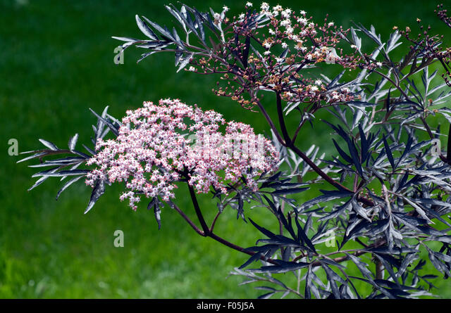 sambucus nigra 39 black lace 39 stock photos sambucus nigra. Black Bedroom Furniture Sets. Home Design Ideas