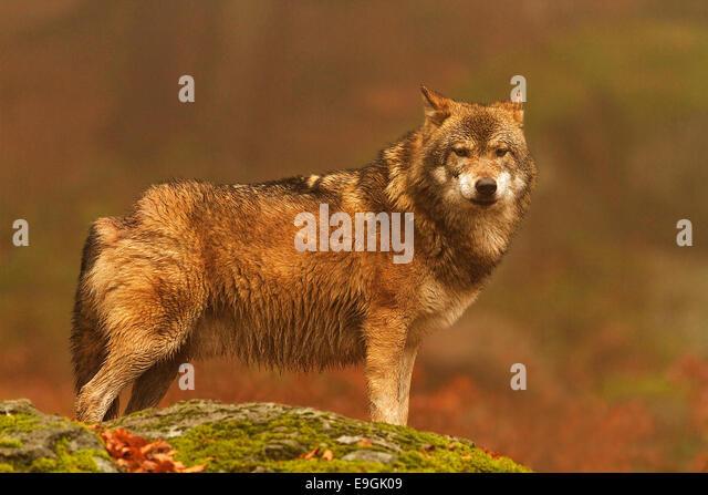 Captive male Grey Wolf eye contact, Bavarian Forest National Park, Germany - Stock-Bilder