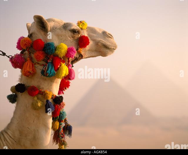 Camel and pyramids Giza Cairo Egypt - Stock Image