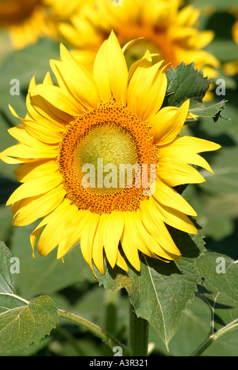 Perfect,vivid,yellow,Sunflower in Le Marche,Italy - Stock Image