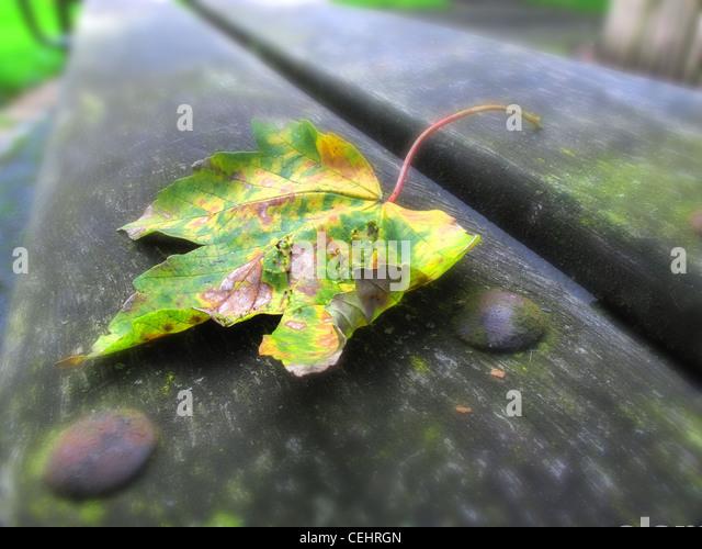Autumn Sycamore Leaf on park bench , Cheshire UK - Stock Image